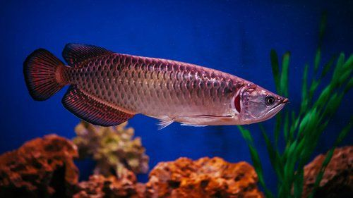 Kisah Arloji Tua dan Kisah Kiyai, Santri Serta Ikan Arwana, Siapa Duluan?